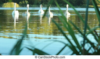 Family of swans on the lake - family of swans swimming...