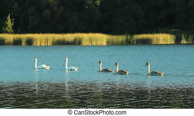 Family of swans on the lake - Swans family swimming on the...