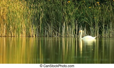 Family of swans on the lake - Swans family swimming...