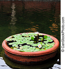 Potted Lotus - An ornamental pot of lotus blossoms within a...