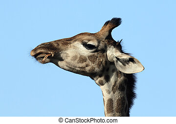 Giraffe, Giraffa camelopardalis, head shot, Namibia, August...