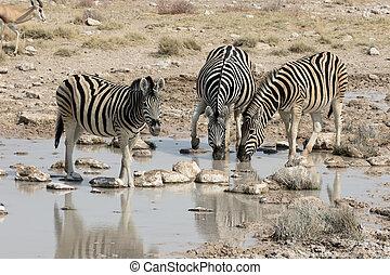 Plains zebra, Common zebra or Burchells zebra, Equus quagga,...