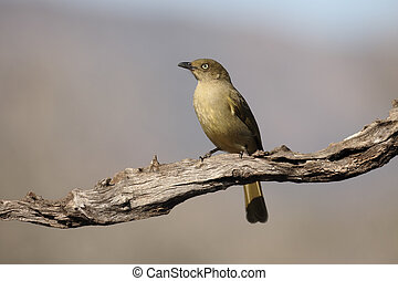 Sombre greenbul, Andropadus importunus, single bird on...