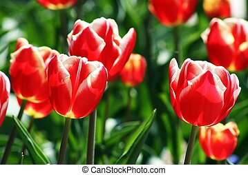 Array of Red Tulips - a beautiful array of red and white...