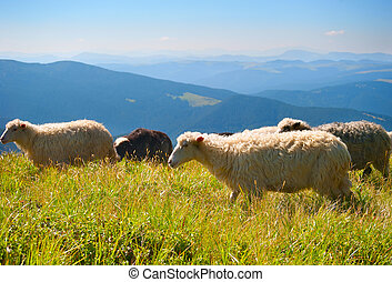Sheeps in the mountains