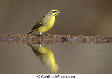 Yellow-eyed canary, Crithagra mozambicus, single bird by...