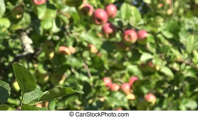 Apple tree leaves and branches full of ripe red fruits growing in garden. Focus change. 4K