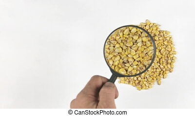 Magnifying glass increases the corn grains, motion up, top...