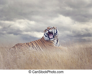 Bengal Tiger Roaring - Bengal Tiger Resting in the Grass and...