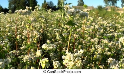 Flowers of buckwheat and buckwheat vast fields. - Appearance...