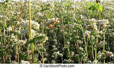 Flowers of buckwheat and buckwheat vast fields. - Appearance...