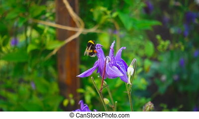 Bumblebee on aquilegia flower - Bumblebee on a purple and...
