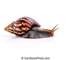 Close up of vanilla snail isolate on white background with...