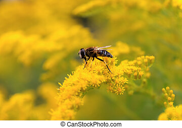 hoverfly pollinates goldenrod - hoverfly sitting on a yellow...