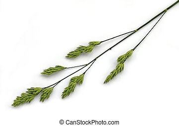 Panicle weed - Flowering panicle green weed on a white...