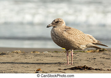 Pacific Gull on the shore of Ocean - Pacific Gull on the...