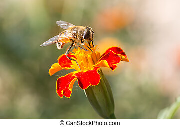 A bee collects ardent on the yellow flowers