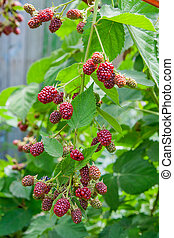 Close up view of a bunch of blackberry. Ripening of the...