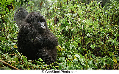 Female mountain gorilla thinking in the forest - Profile of...