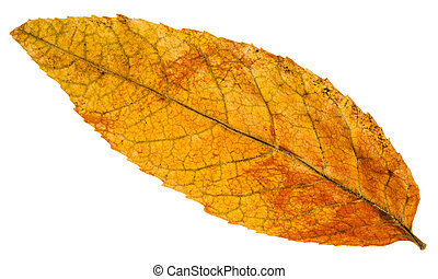yellow fallen leaf of ash tree isolated - yellow fallen leaf...