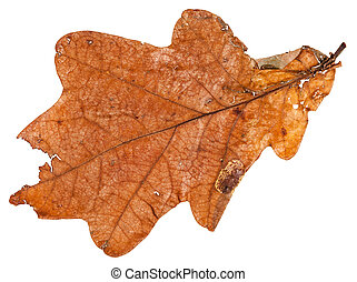 brown dried leaf of oak tree isolated