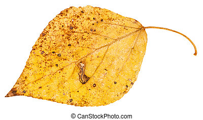 yellow fallen leaf of poplar tree isolated - yellow fallen...