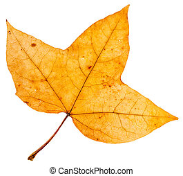 yellow autumn three-lobed leaf of maple tree (Acer...
