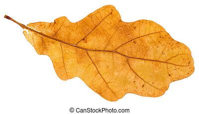 yellow fallen leaf of oak tree isolated