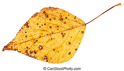 yellow autumn leaf of poplar tree isolated - yellow autumn...