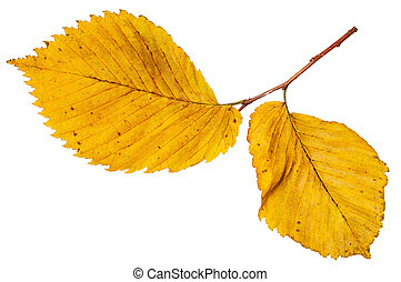 twig with yellow autumn leaves of elm tree isolated on white...