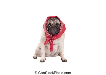 adorable cute pug dog puppy with western scarf around head,...