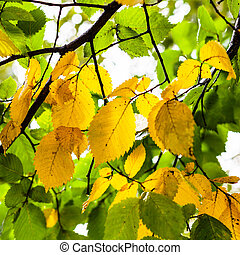 green and yellow leaves of Elm tree in autumn - green and...
