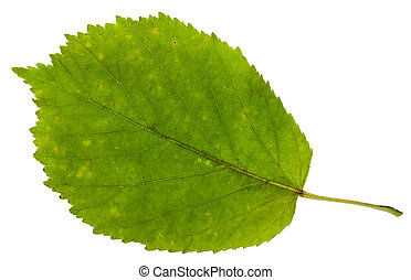 green leaf of ash-leaved maple tree isolated - green leaf of...