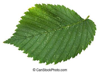 fresh leaf of Elm tree isolated - fresh leaf of Elm tree...