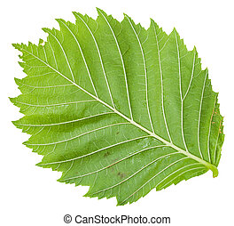 back side of green leaf of Elm tree isolated - back side of...