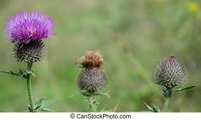 Flower of burdock close-up in afternoon - Flower of burdock...