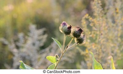 Agrimony in sunset light in August