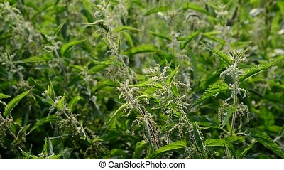 Many of nettle with seeds - Many of nettle with a seeds