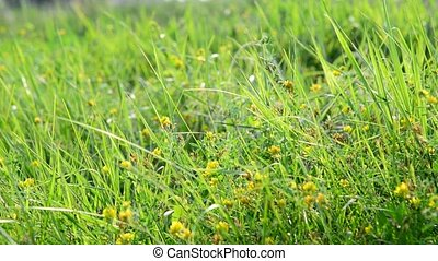 fragment of meadows with grass and yellow flowers - A...