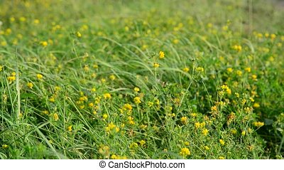 Field yellow clover in grass - Field yellow clover in the...
