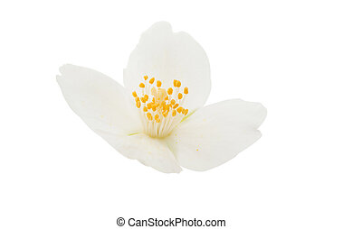 jasmine flower on a white background