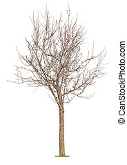 Young tree with buds at early spring isolated on white...