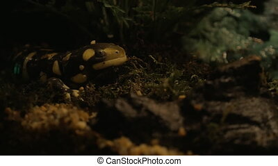 Tiger salamander exposed in oceanarium - Tiger salamander in...