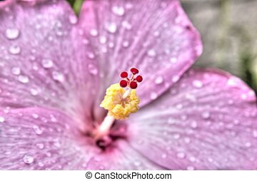 Hibiscus Flower HDR - Hibiscus Flower with water droplets in...