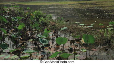 View of swamp with lily and grass and green hills on the...