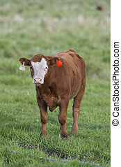 Young Beef steer - A young beef steer on a Minnesota farm