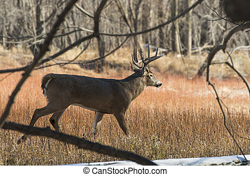 Whitetail Deer - A wild Whitetail Deer in Minnesota