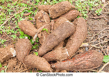 Yucca Root, South America