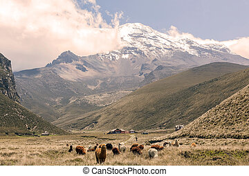 Herd Of Llamas, South America - Herd Of Llamas In Chimborazo...