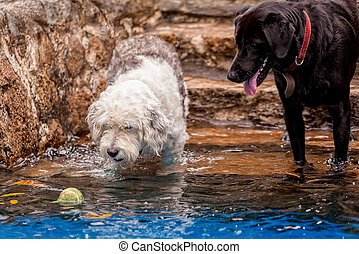 Labrador And A Terrier Dog Playing In A Pool - Labrador And...